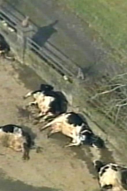 В Великобритании подтверждена вспышка ящура на одной из ферм в Суррее(видео)