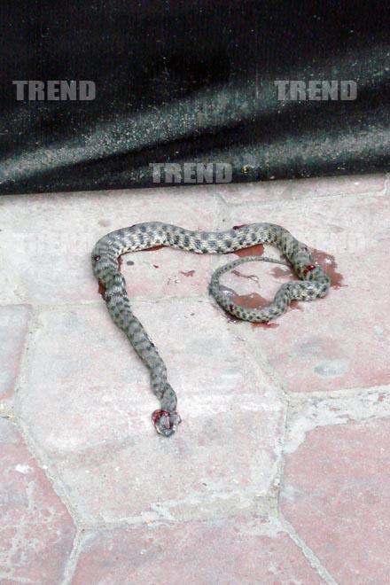 В центре Баку была убита большая змея