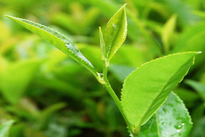 Azərbaycan çayının Türkiyəyə ixracına dair razılığa gəlinib