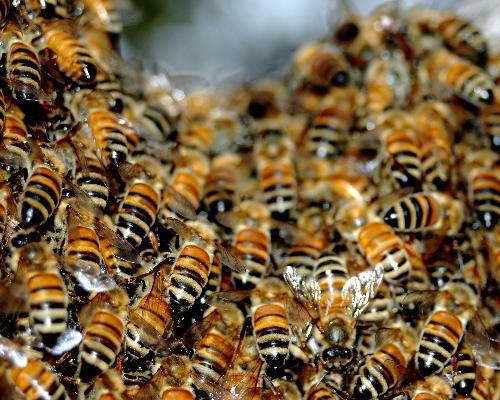 Arılar üçün təbii tozcuqlu süni güllər yaradıldı