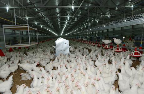 İmişlidə damazlıq quşçuluq fabrikinin açılışı olub (FOTO)