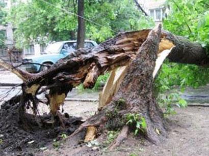 Şəkidə ağacın qırılması nəticəsində xəsarət alanlar var
