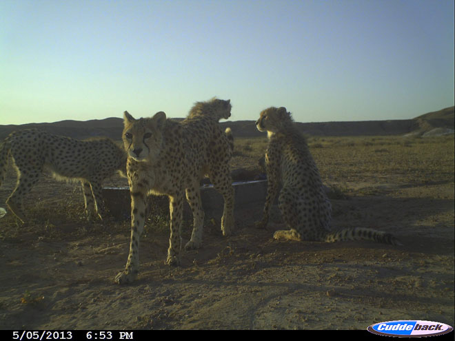 Iranian Cheetahs remain endangered – expert (PHOTO) (VIDEO)