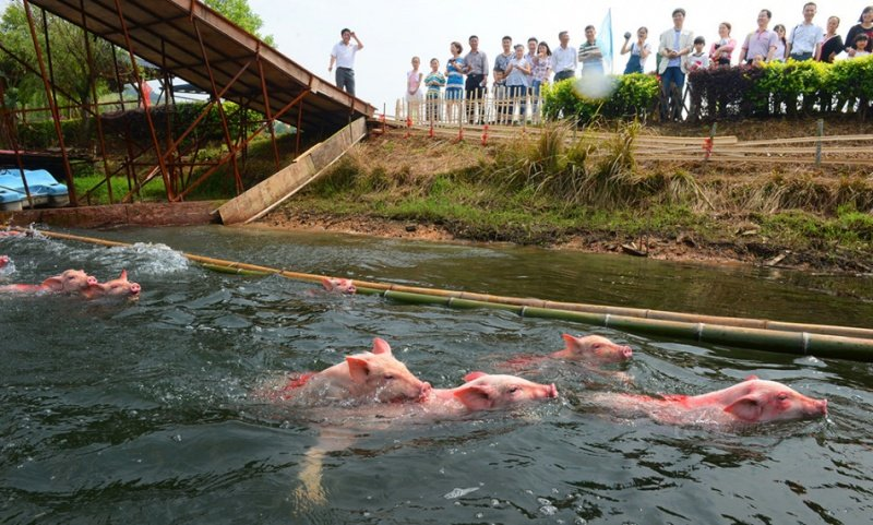 Donuzların üzgüçülük yarışı (FOTO)