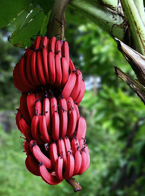 Уникальные красные бананы (ФОТО)