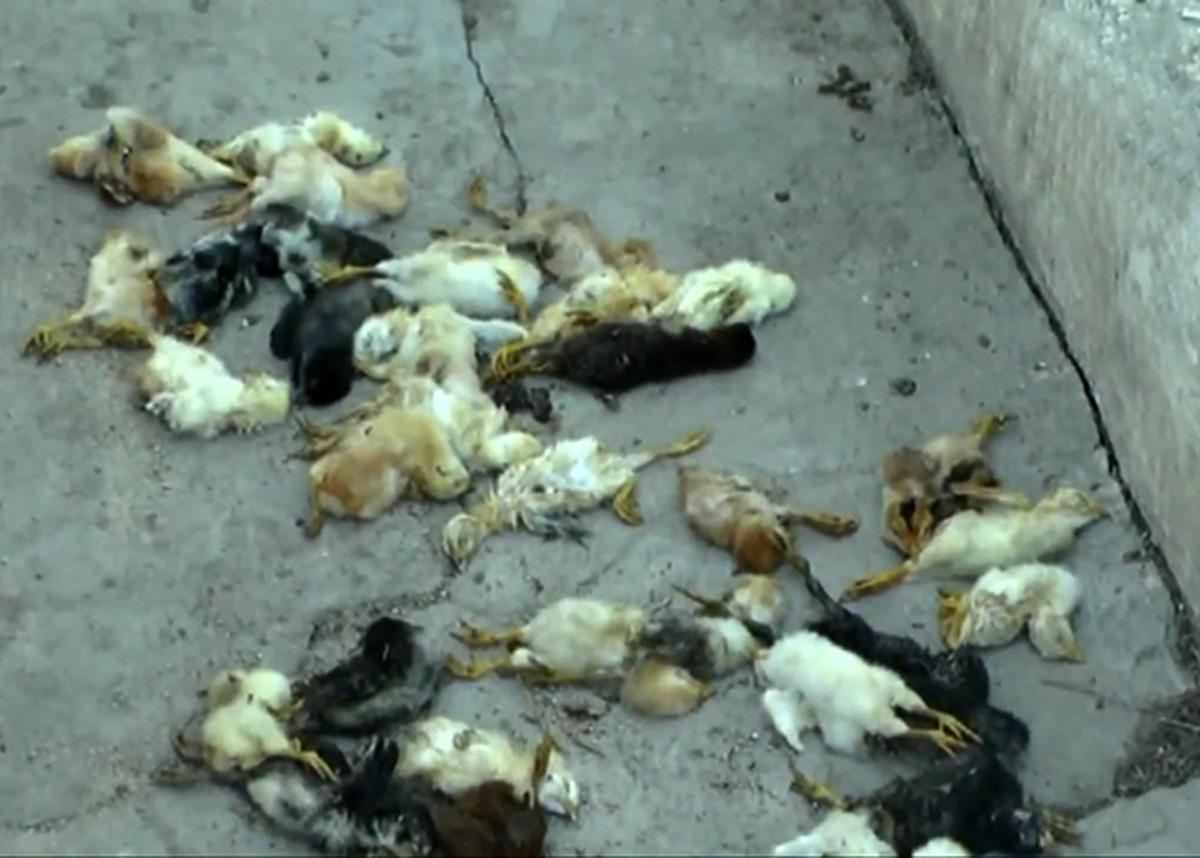 Hacıqabulda ev quşlarının kütləvi tələf olması ilə bağlı açıqlama (FOTO)